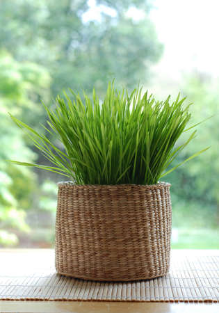 fresh wheatgrass growing in a woven basket Stock Photo
