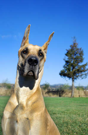 Portrait of Great Dane dog, fawn color.  Outdoor with green grass, bright blue sky. photo