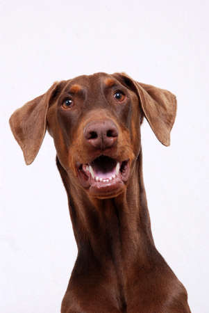 spay: Portrait of a Red Doberman dog, on white background Stock Photo