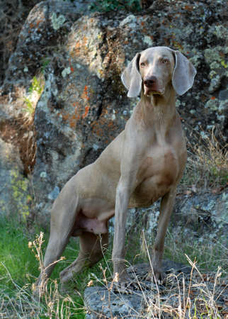 ghost rock: Weimaraner dog portrait, against natural rock wall