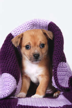 overpopulation: Chihuahua puppy wrapped in purple blanket Stock Photo
