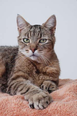 grey tabby: Grey tabby cat portrait, polydactyl Stock Photo