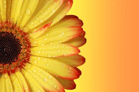 Gerber Daisy, orange and yellow colors.  Close up. photo