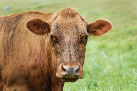 Brindle colored Cow