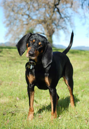 spay: Black and Tan Coonhound portrait, outdoor