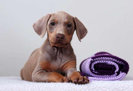 Doberman Pinscher puppy, white background Stock Photo