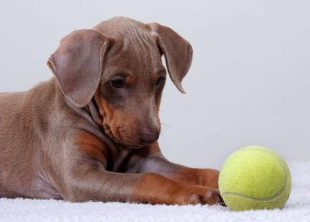 Doberman Pinscher puppy staring at a tennis ball.