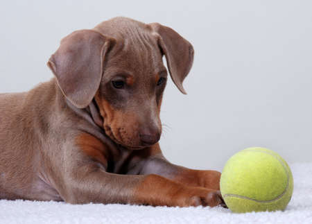 Doberman Pinscher puppy staring at a tennis ball. photo
