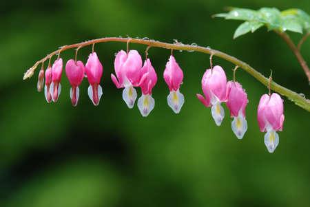 Bleeding Heart blossoms, close up. Stock Photo