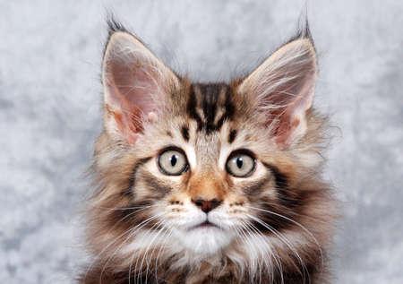 Retrato de un gato Maine Coon, clásico marrón atigrado Foto de archivo - 12760897