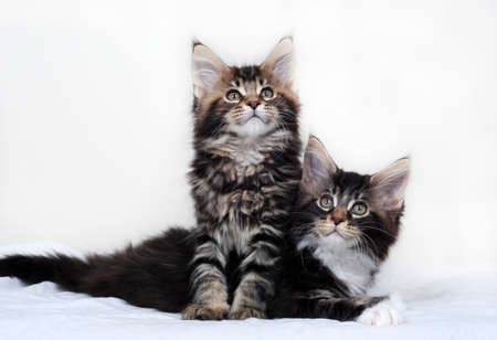 spay: Maine coon kittens, on white background