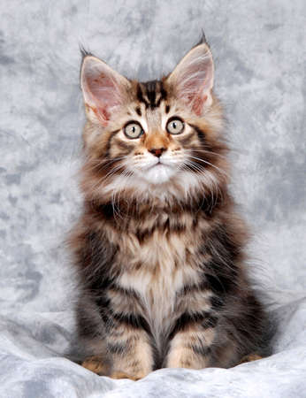 Portrait of a Maine Coon kitten, classic brown tabby Stock Photo