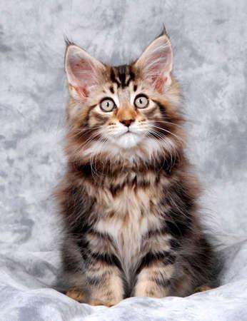 Portret van een Maine Coon kitten, klassieke brown tabby Stockfoto