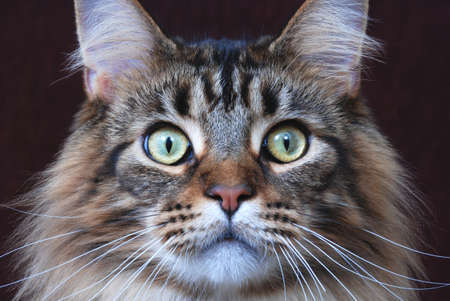 maine cat: Maine Coon, classic brown tabby color