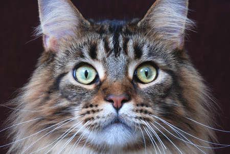 maine cat: Maine Coon, el cl�sico de color marr�n atigrado Foto de archivo