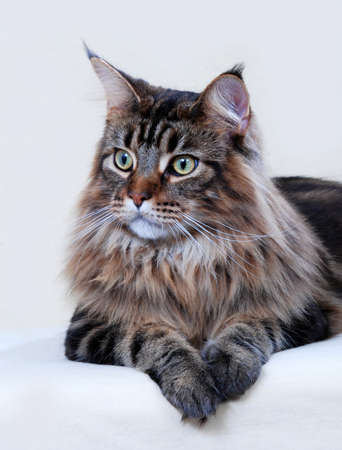 maine cat: Maine Coon cat, adult.  Classic Brown Tabby color