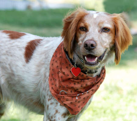 Brittany Spaniel dog, outdoor portrait. Wearing bandana and collar and tag. photo