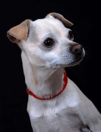 Portrait of a mixed breed dog wearing a red collar.  On black background. photo