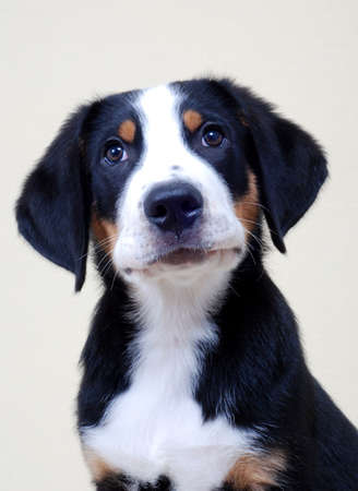 greater: Portrait of a Greater Swiss Mountain Dog puppy.