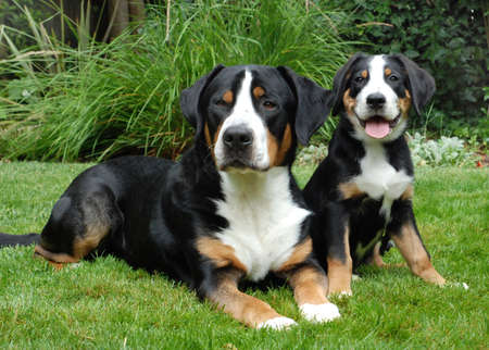 greater: Greater Swiss Mountain Dog, adlut and puppy.  Outdoor portrait. Stock Photo