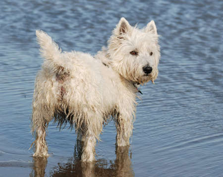 cute westie: Westhighland Terrier dog standing in a lake.   Stock Photo