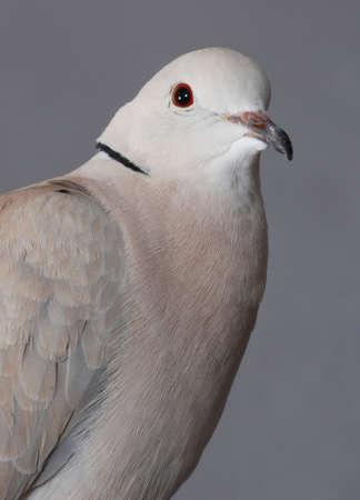 black beak: Portrait of a ring necked dove.  On grey background. Stock Photo