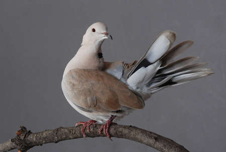 ring stand: Ring-necked dove with feathers spread, perched on natural branch.