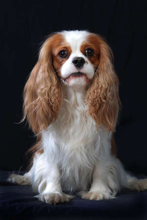 dogs sitting: Cavalier King Charles Spaniel dog, adult, blenheim color  Stock Photo