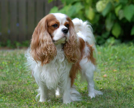 Cavalier King Charles Spaniel, blenheim color, adult photo