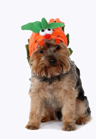 Cute dog wearing pumpkin costume.  yorkshire terrier.