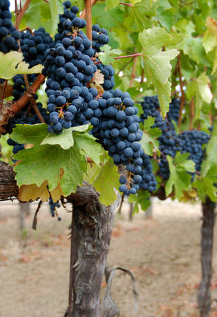 Dark red grapes on the vine in a vineyard.