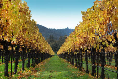 Vineyard rows during Autumn time with mountain and blue sky in background Stock Photo
