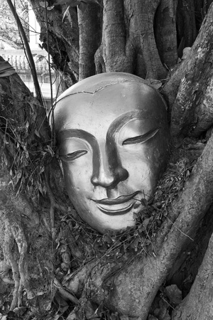 Golden head of buddha in tree with black and white picture
