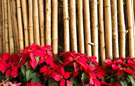 Red flower on bamboo fence