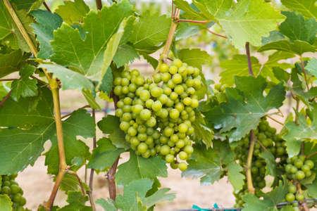 Branch of grape fruit
