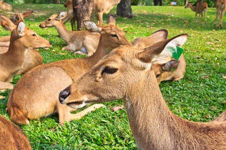 Deer in Thailand Zoo Stock Photo