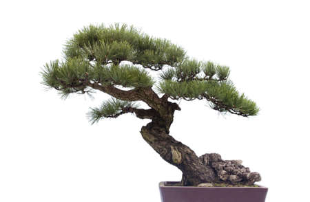 A small bonsai tree in a ceramic pot  Isolated on a white background  Banco de Imagens