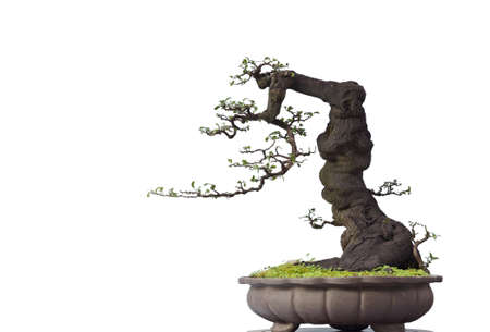 A small bonsai tree in a ceramic pot  Isolated on a white background  photo