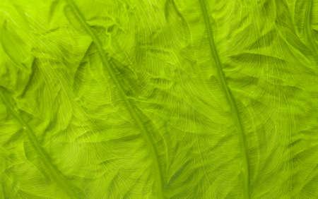 macroshot: New leaf of  taro, by macro-shot  Stock Photo