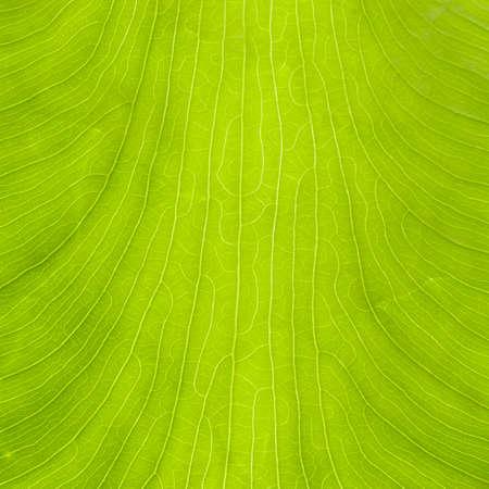 macroshot: Leaf of  taro, by macroshot