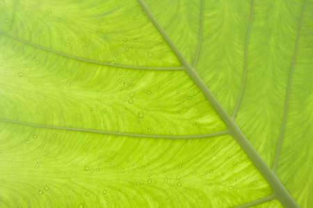macroshot: New leaf of  taro, by macroshot New leaf of  taro, by macroshot