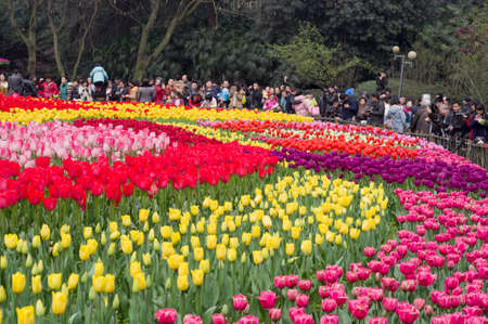 captives: In the springtime, blooming tulip captives the visitors and photographers at a park in Jiangbei District, Chongqing