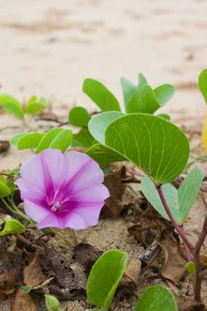 pes caprae: purple flower