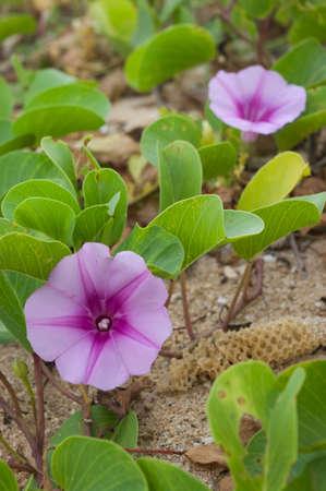 pes caprae: flower of ipomoea pes caprae