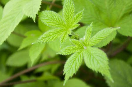 humulus japonicus plant Banco de Imagens