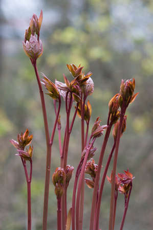 neonatal: red neonatal leaf of peony Stock Photo