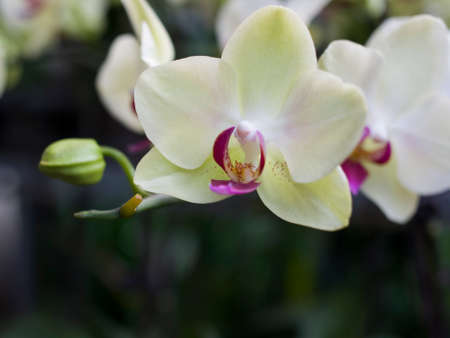 phalaenopsis: flower of phalaenopsis Stock Photo
