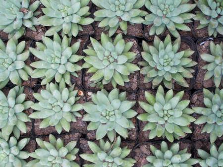 abreast: green succulent plants