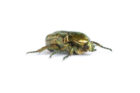 vermin: cockchafer by macro shot against white background.
