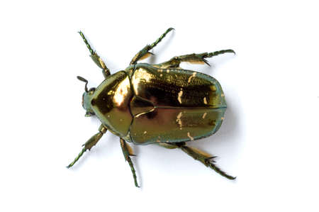 vermin: cockchafer by macro shot against white background. in china. Stock Photo